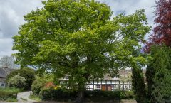The Pembridge Oak Tree