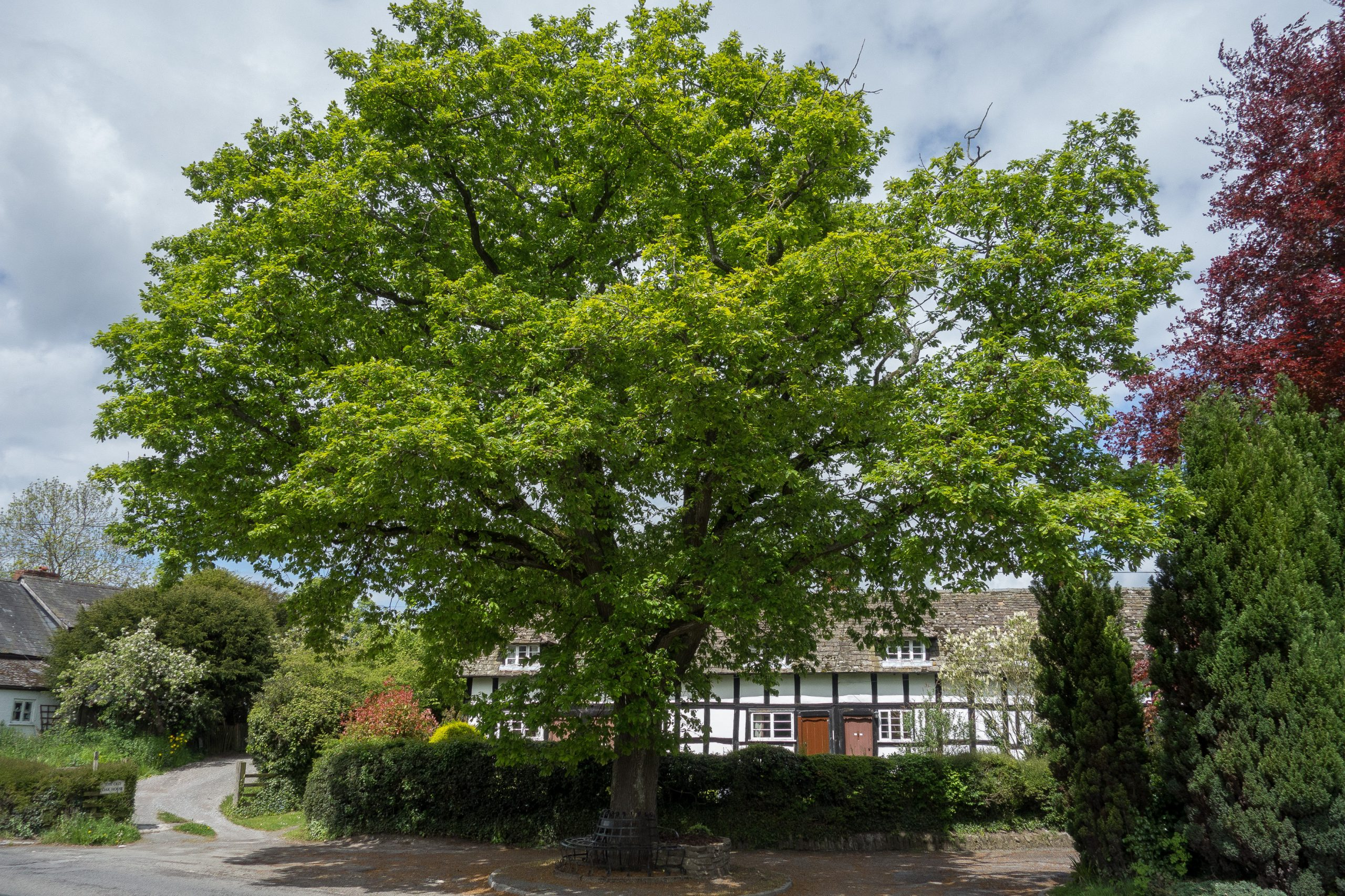 Oak tree in Pembridge